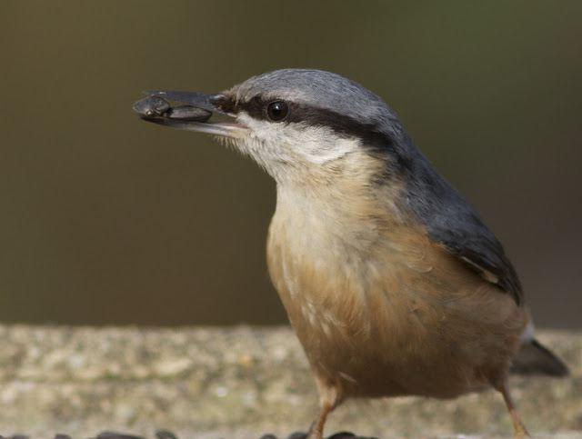 птица поползень описание