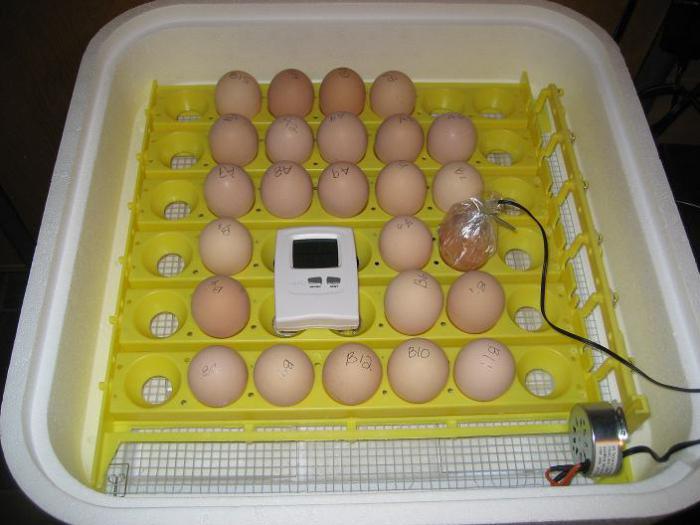 Как выводить яйцо в домашнем условии
