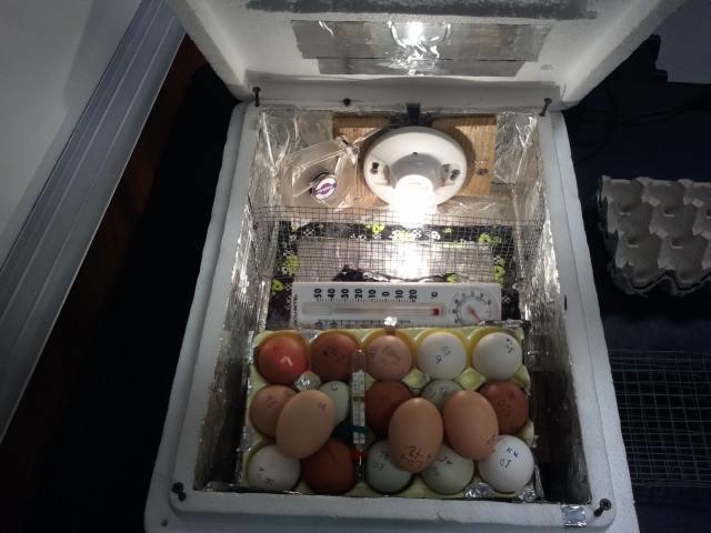 цыплята в домашнем инкубаторе