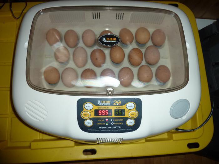 вывод цыплят в инкубаторе