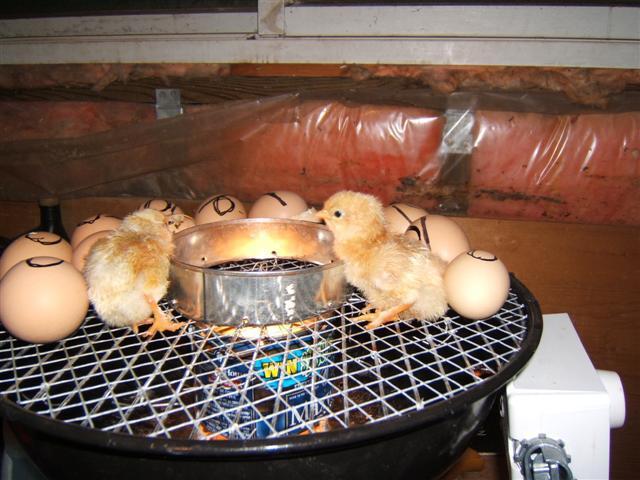 вывод цыплят в домашнем инкубаторе