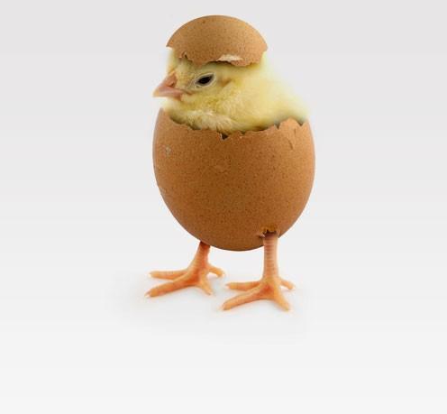как вывести цыплят в домашних условиях в инкубаторе
