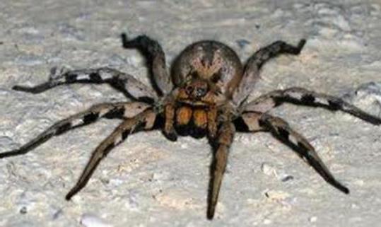самый опасный паук