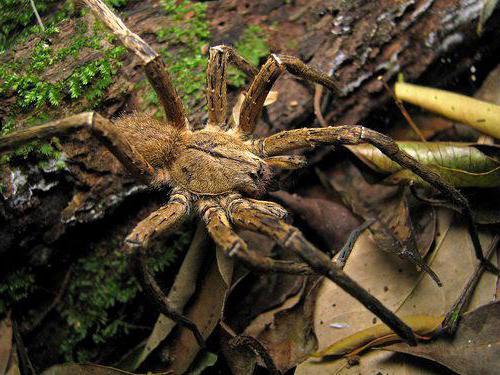 самые опасные пауки в мире фото