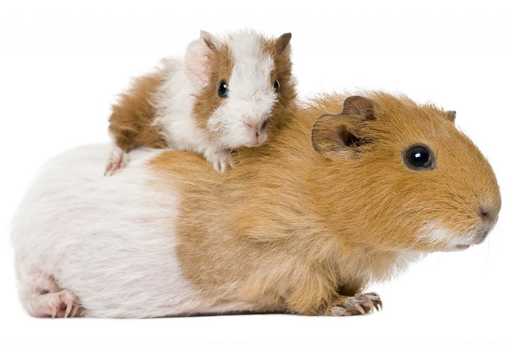 Морская свинка: размеры, описание с фото и рекомендации по уходу
