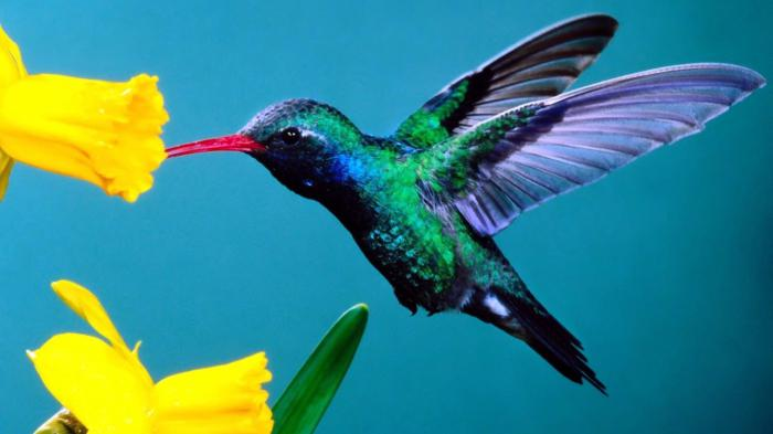 колибри птица