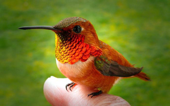 колибри птица описание