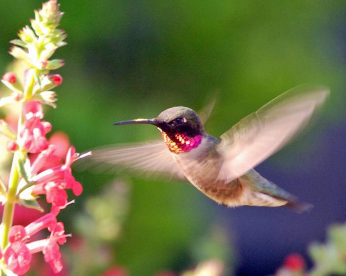 птица похожая на колибри
