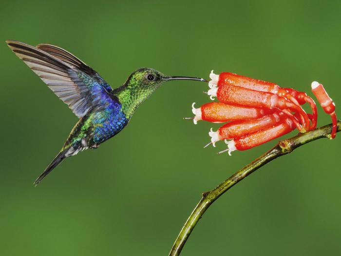 сколько стоит колибри птица