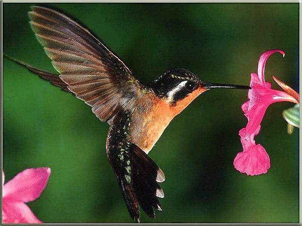 самая маленькая птица колибри весит 20 г