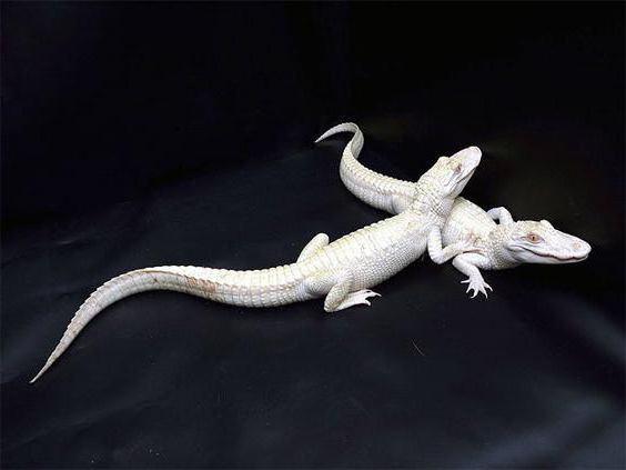 белые крокодилы
