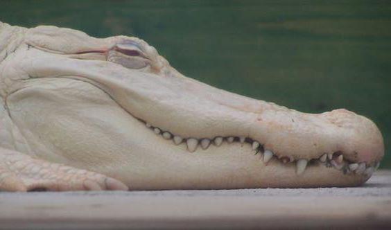 белый крокодил сущесÑ'вуеÑ' в природе