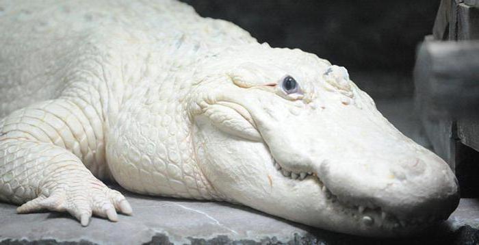 бываюÑ' ли в природе белые крокодилы