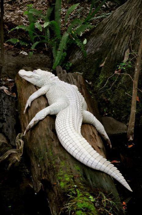 бываюÑ' ли белые крокодилы
