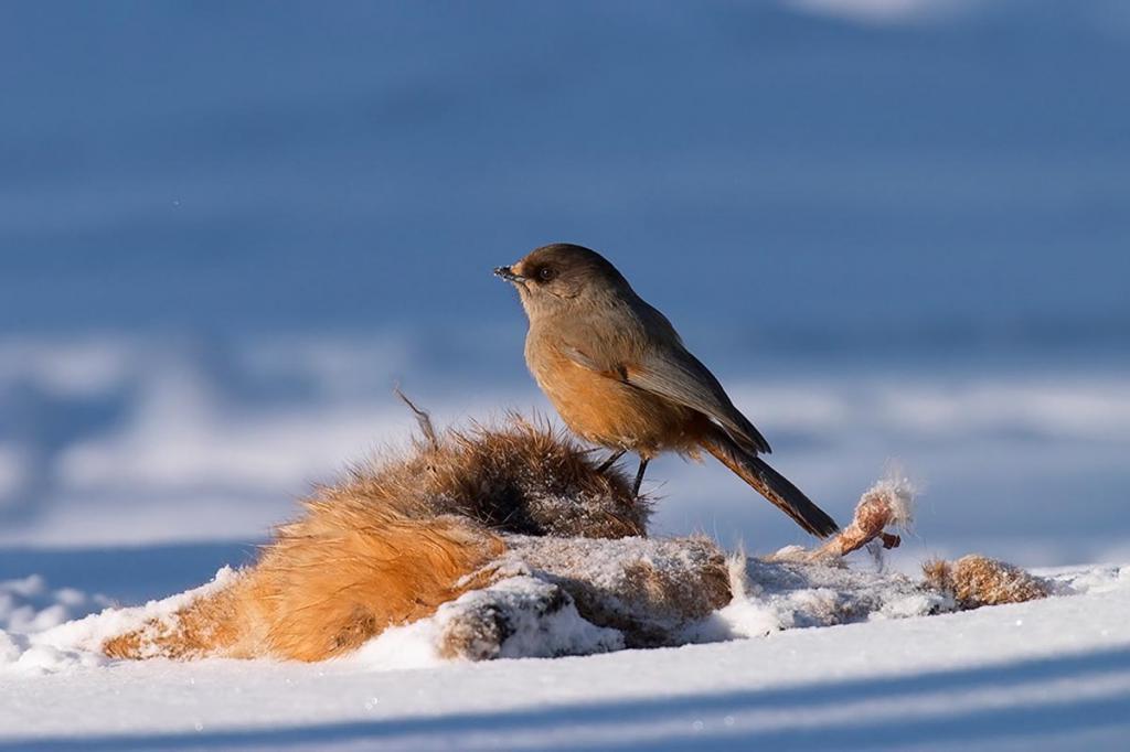 птицы кольского полуострова качестве альтернативы