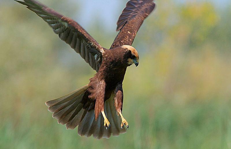 Птицы алтайского края: названия, описание с фото, классификация, характеристика видов, ареал обитания, взращивание птенцов и жизненный цикл