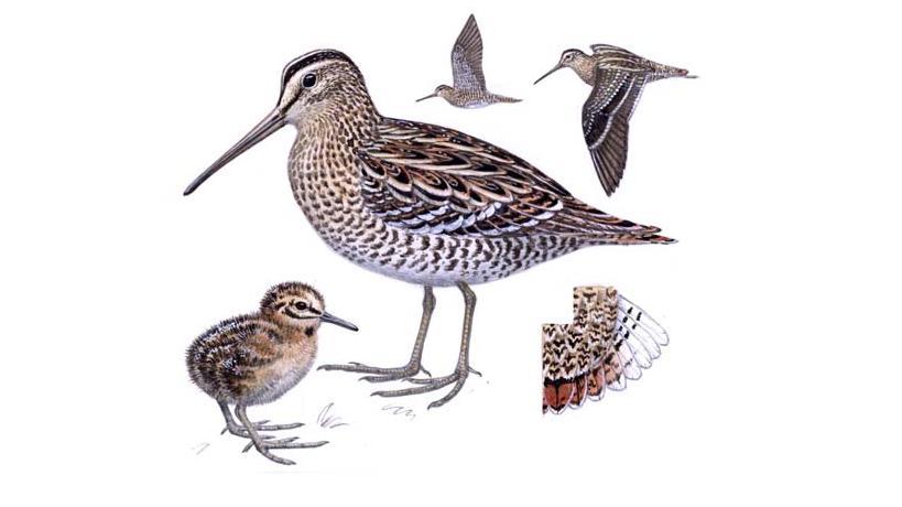 Птица дупель: описание, среда обитания, особенности вида, размножение, жизненный цикл, характерные признаки и особенности