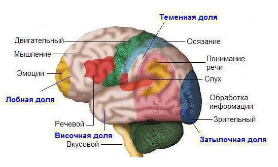 Зона головного мозга отвечающая за сексуальное желание
