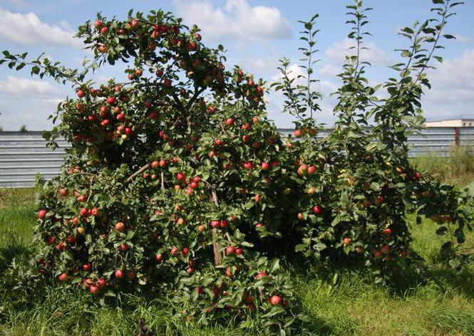 Яблоня веньяминовское описание фото отзывы