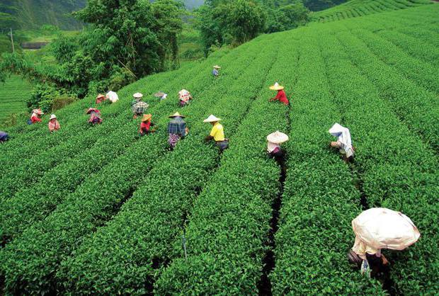 Простой рецепт калмыцкого чая: особенности приготовления и отзывы