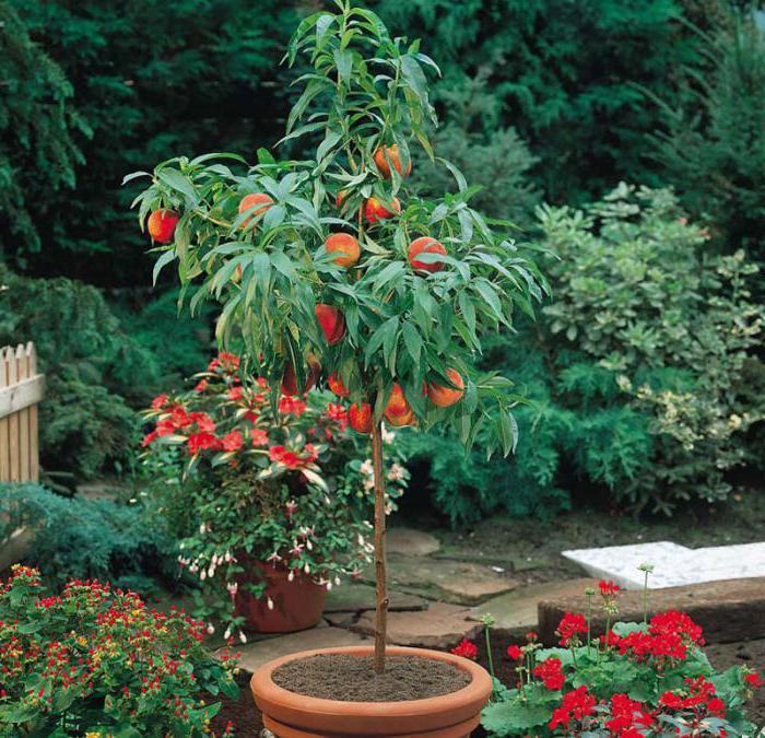 Как посадить персик в домашних условиях 996
