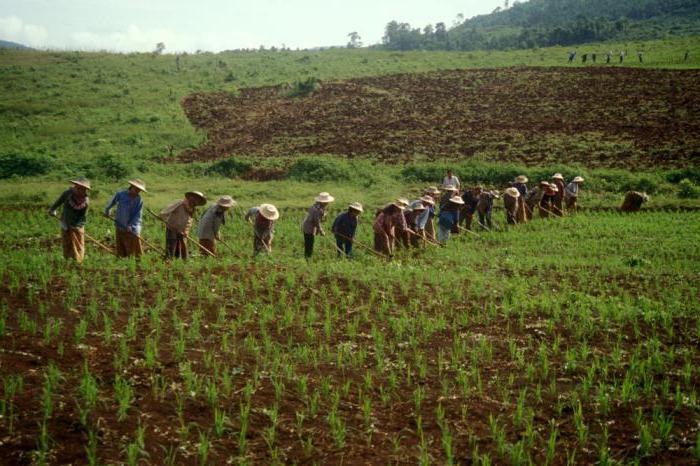 основной продовольственной культурой является рис