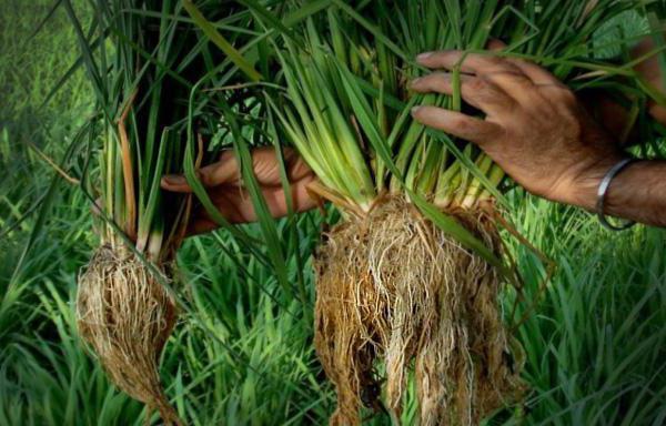 рис это зерновая культура