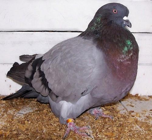 Разведение голубей мясной породы