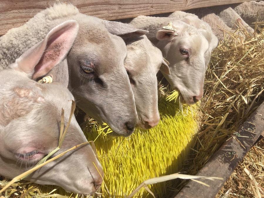 Сколько живут овцы в среднем