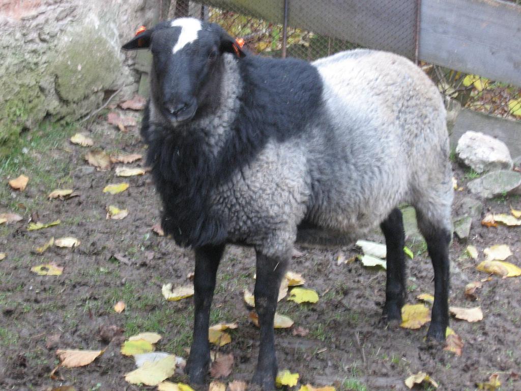 Сколько живут овцы?