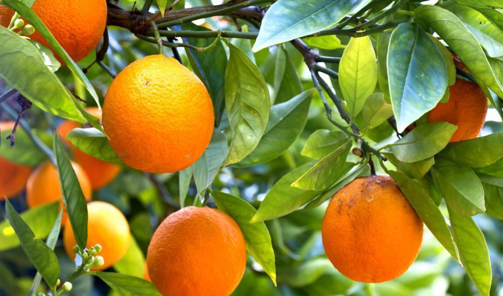 Апельсин, это фрукт или ягода?