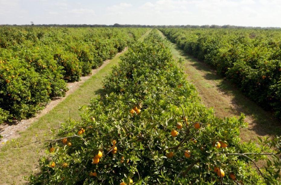 Описание апельсинов
