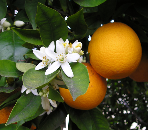 Где растут апельсины