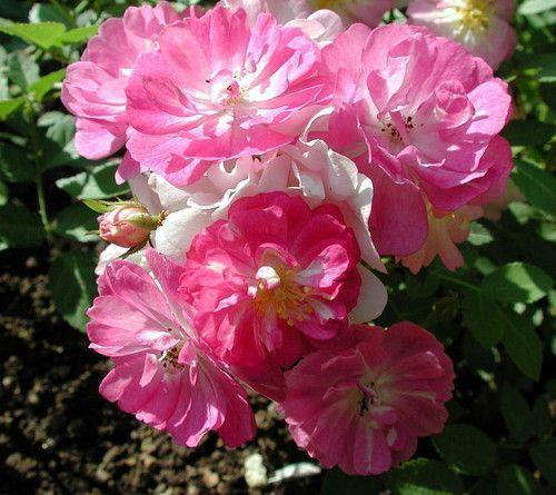 Семена китайской розы