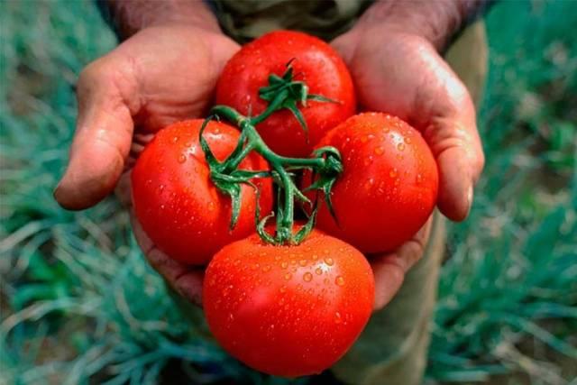 """Сорт томатов """"богата хата"""", отзывы"""