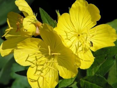 многолетний цветок энотера
