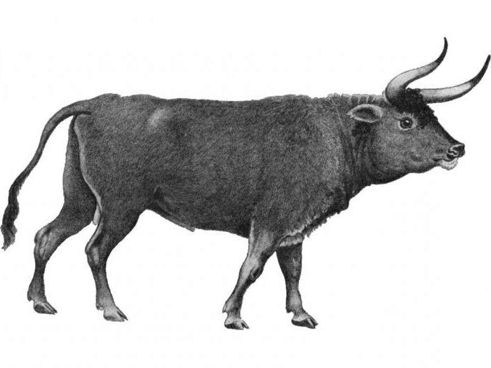 точной картинки предки коровы последние