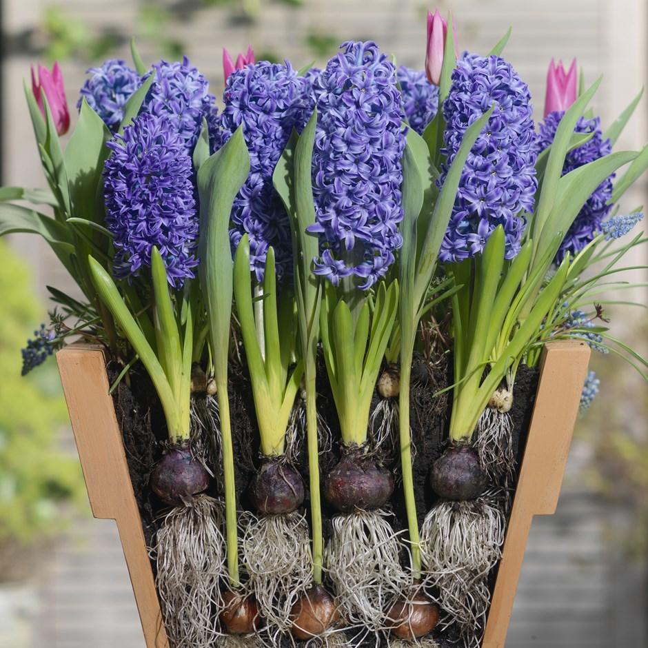 коллекция цветы гиацинт когда сажать фото чашки стаканы