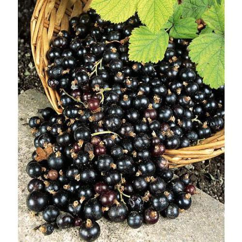 Смородина Валовая чёрная: описание сорта и особенности выращивания