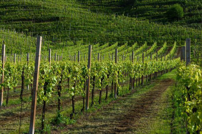 Описание винограда сорт сувенир
