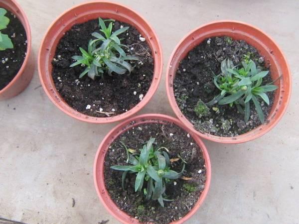Сажать гвоздику семенами осенью 65