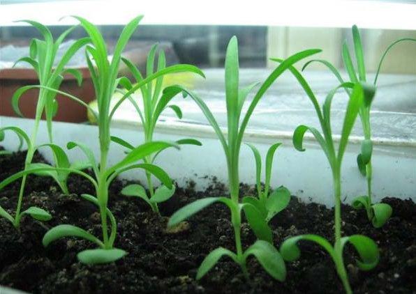 Сажать гвоздику семенами осенью 8