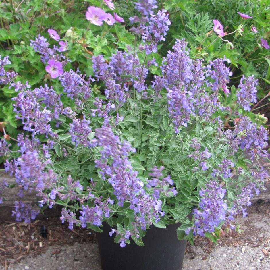 Kotovnik Fassena: description, variety, photo. Planting and care, cultivation 10