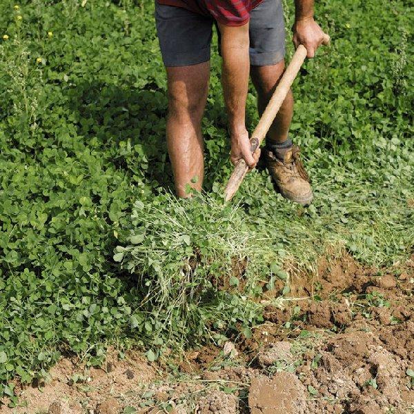 Как сажать семена горчицы для оздоровления огорода 79