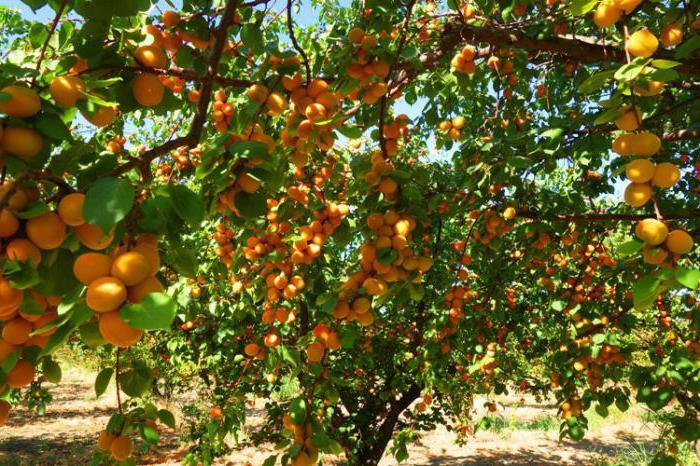 полезные свойства абрикосов и противопоказания
