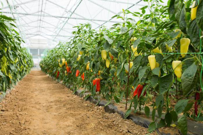 как посадить томаты в теплице из поликарбоната