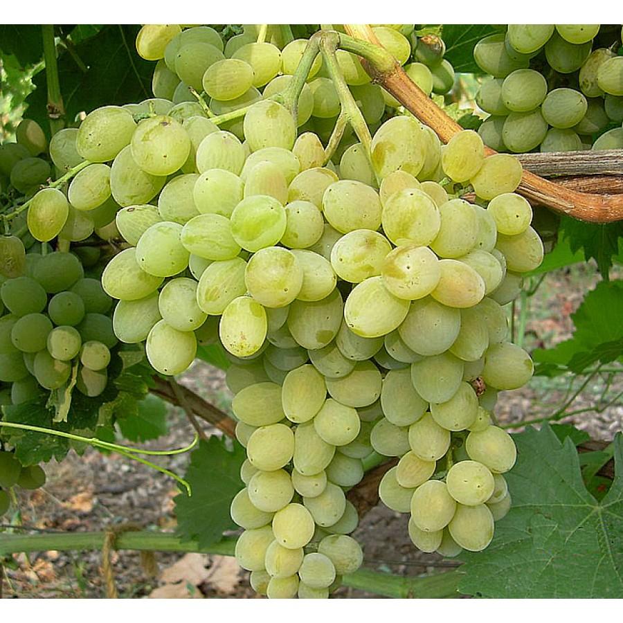 виноград Фрумоаса Албэ