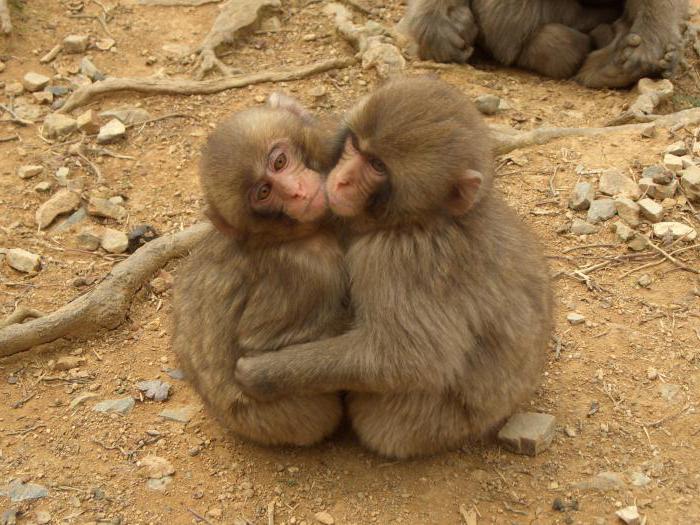 Как общаются обезьяны
