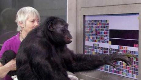 Процесс обучения больших человекообразных обезьян