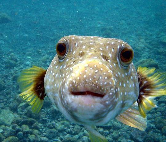 Ядовитые рыбы фото
